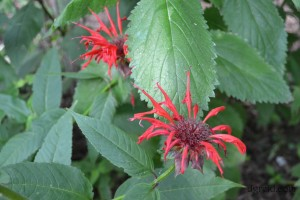 Sy loves the imperfect nature of bee balm so this photo was taken for him.